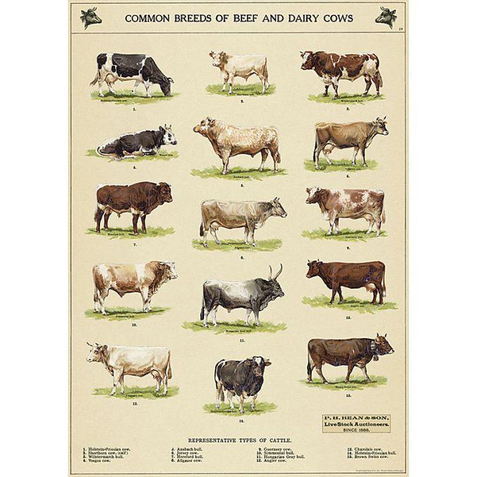 Cavallini Cows